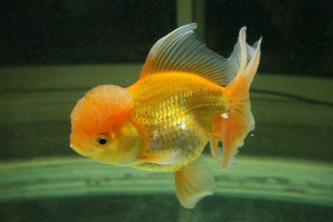 金魚の繁殖と産卵