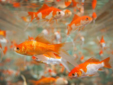金魚の寿命