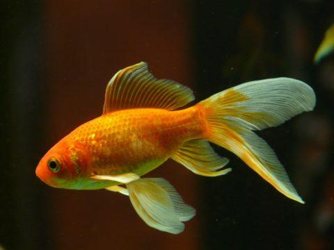 金魚 水温
