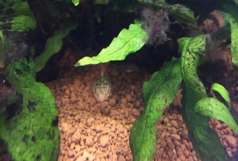淡水フグの飼い方