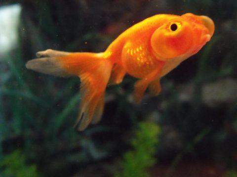 金魚の水換え