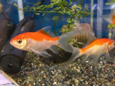 金魚のヒーター