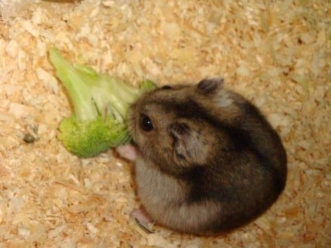 ハムスターの餌