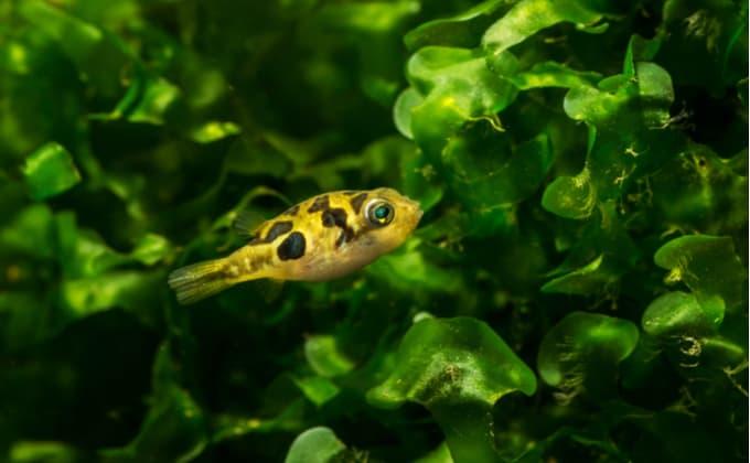 淡水フグ、アベニーパファーの特徴と飼育方法!混泳できる魚や繁殖、水槽の立ち上げ方法は?