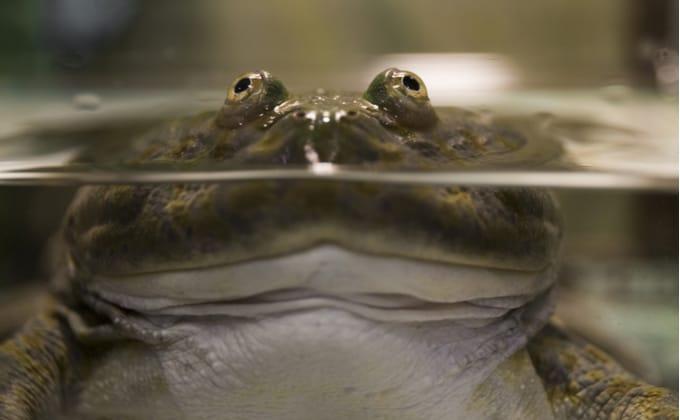 バジェットガエルの飼育方法を紹介!怒る理由や鳴き声、飼育に必要なものは?