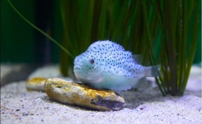 ダンゴウオ(フウセンウオ)はどんな魚なの?詳しい特徴や生態、飼育方法を紹介します。