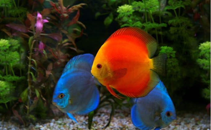 初心者におすすめの人気の熱帯魚を紹介!値段が安くて入手しやすく、小型水槽でも飼いやすい種類は?