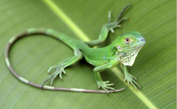 グリーンイグアナの生態