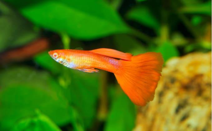 グッピーはどんな熱帯魚?特徴や飼育のポイント、楽しみ方を紹介します!