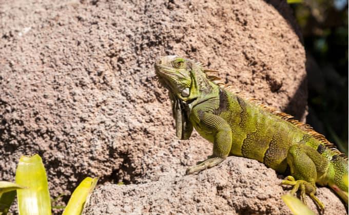 グリーンイグアナの飼育