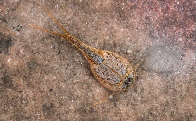 生きた化石、カブトエビってどんな生き物なの?生態や飼育方法を紹介します!