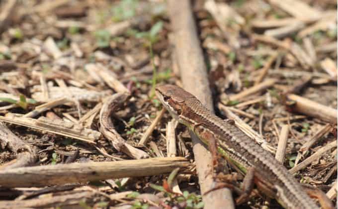 カナヘビとは?生態と特徴、飼育方法を紹介!捕まえ方やトカゲとの違いは?