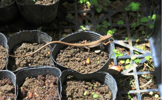 カナヘビの飼育
