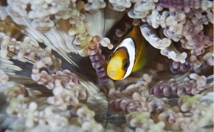 クマノミってどんな海水魚?生態と特徴、飼育方法を紹介!人気の種類や相性がいいイソギンチャクは?