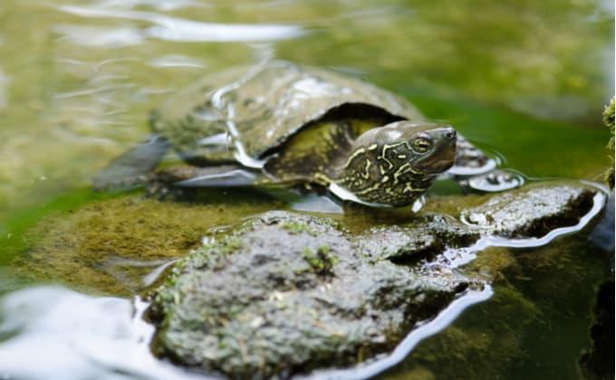 クサガメ(ゼニガメ)ってどんな亀?その生態と特徴、飼育方法について紹介します!