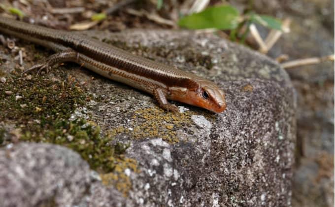 トカゲ 違い カナヘビ
