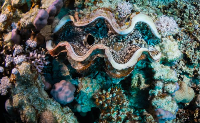 美しい殻をもつ二枚貝、シャコガイってどんな生き物なの?生態や飼育方法について紹介します!