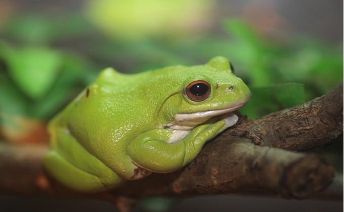 モリアオガエルの生態と飼育方法を紹介!鳴き声や捕まえ方、繁殖方法は?