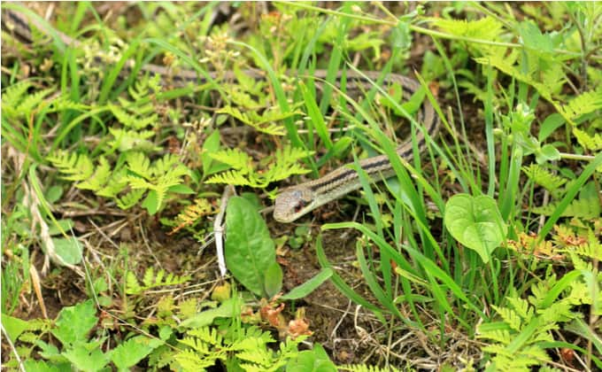 シマヘビの生態や特徴、飼育方法について紹介!生息場所や寿命、他種との違いは?
