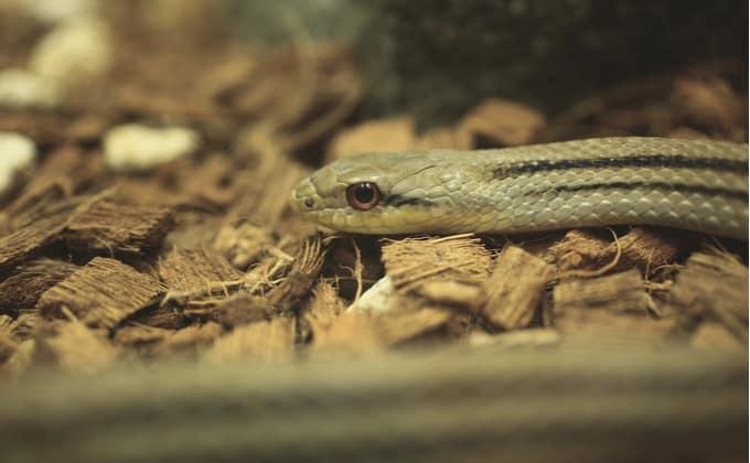 シマヘビの飼育
