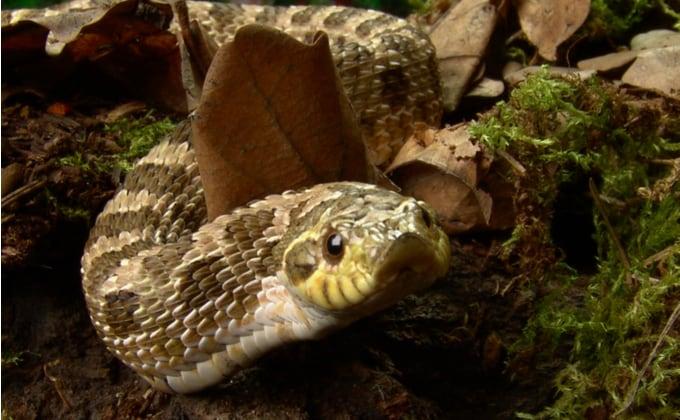 シシバナヘビ