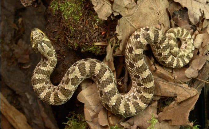 シシバナヘビの飼育