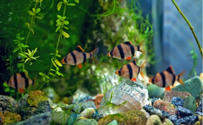 熱帯魚スマトラの飼育