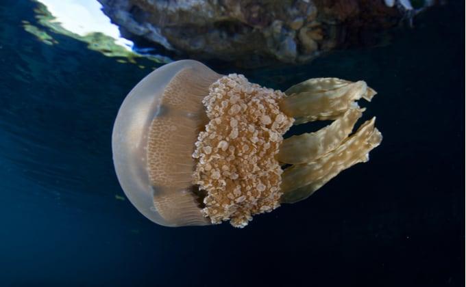 クラゲの寿命