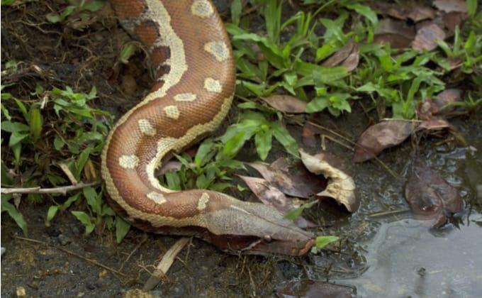 ペットで飼育するヘビにおすすめの餌は?エサの種類や与え方を紹介します!