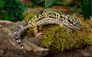 ヒョウモントカゲモドキ(レオパードゲッコー)とは?種類と特徴、飼育方法について紹介します!