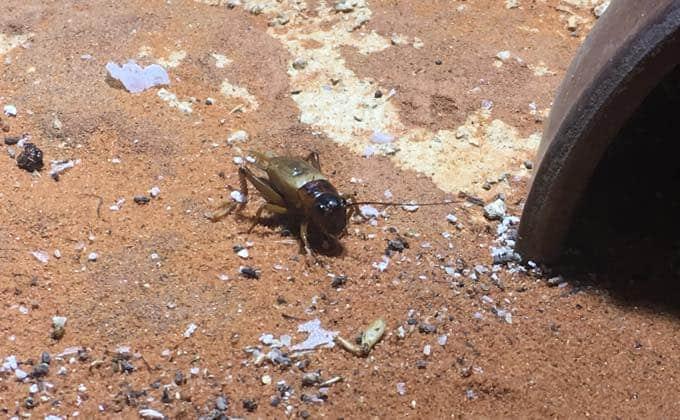 コオロギの飼育と繁殖