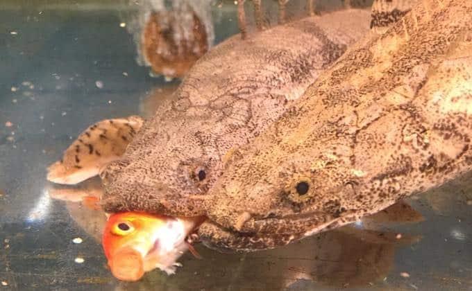 熱帯魚で人気の肉食魚を紹介!初心者にも飼育しやすい大型の種類や飼育方法は?