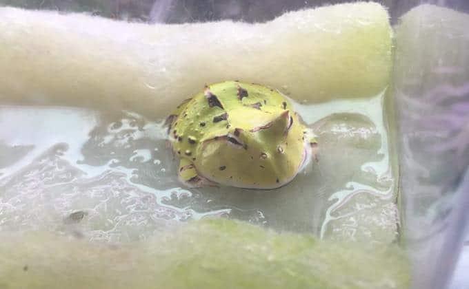 ベルツノガエルの生態や特徴、飼育方法を紹介!値段や販売場所、おすすめの餌は?