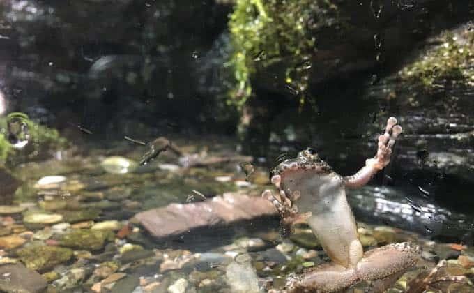 カジカガエルの飼育