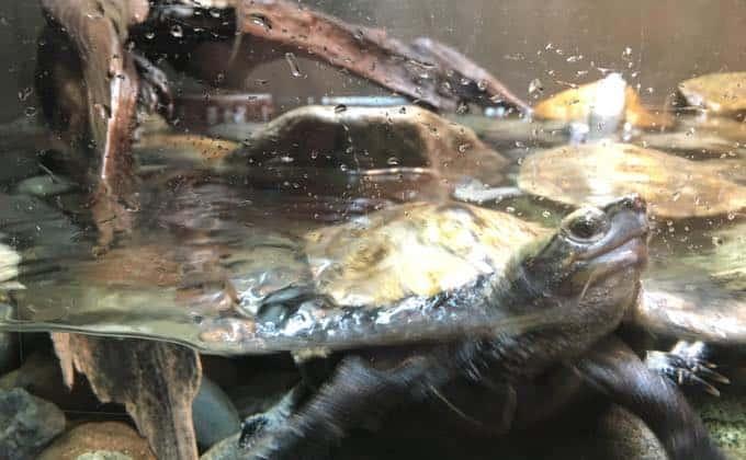 ニホンイシガメの飼育