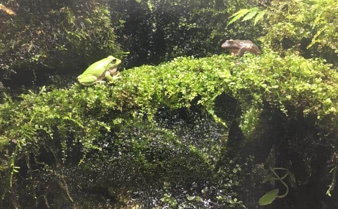 シュレーゲルアオガエルの飼育