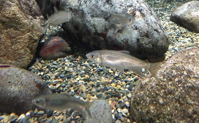淡水魚の飼育