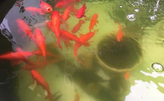 金魚の水温