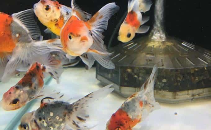 人気の金魚13種類を紹介!それぞれの飼育難易度や値段、特徴をまとめています!
