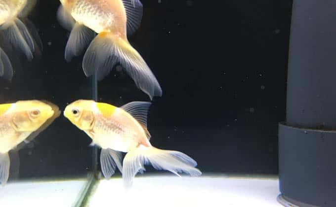 金魚がかかりやすい病気10種類!症状別の特徴と原因、予防方法を紹介!