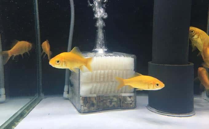 金魚コメットの飼育
