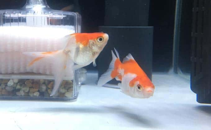 金魚の水槽の選び方とおすすめの水槽5種類!大きさやレイアウトのコツは?