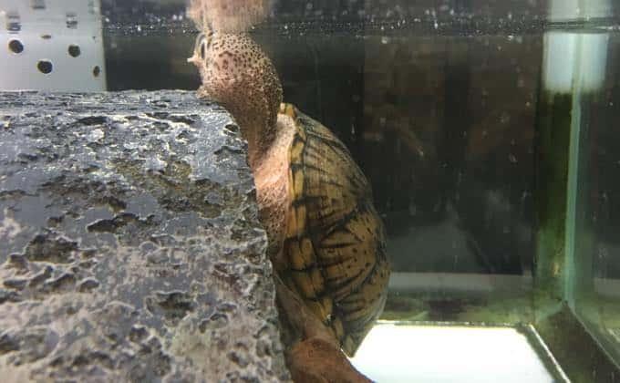 カブトニオイガメの飼育