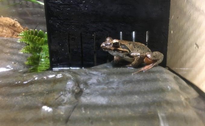カジカガエルの特徴と飼育方法を紹介!綺麗な鳴き声を楽しめる時期はいつ?