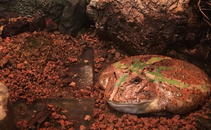 クランウェルツノガエルの飼育