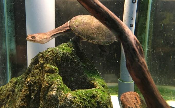 ジーベンロックナガクビガメの飼育