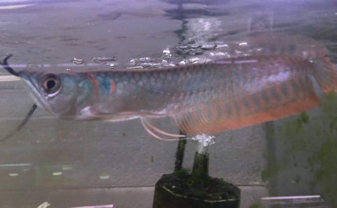 シルバーアロワナの幼魚
