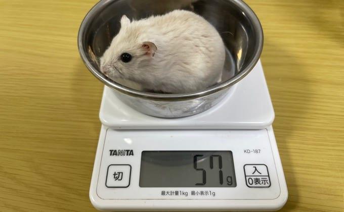 ジャンガリアンハムスターの体重測定