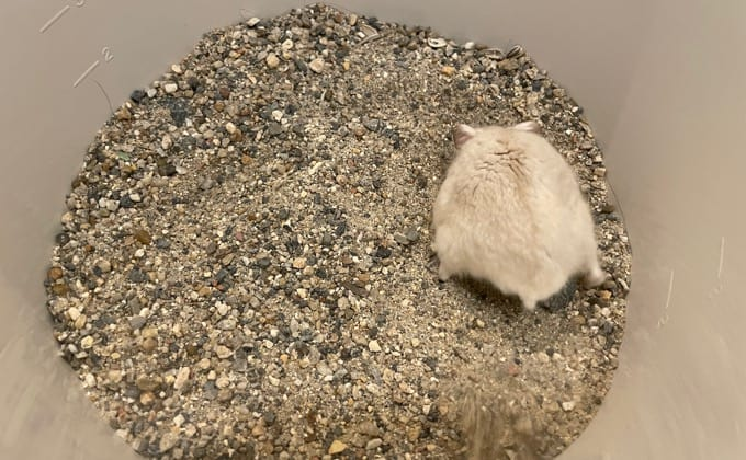 ハムスターの砂遊び