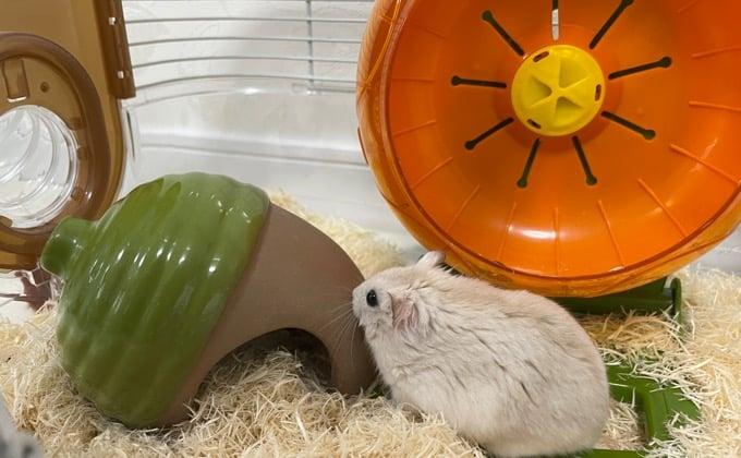陶器製の巣箱で遊ぶハムスター
